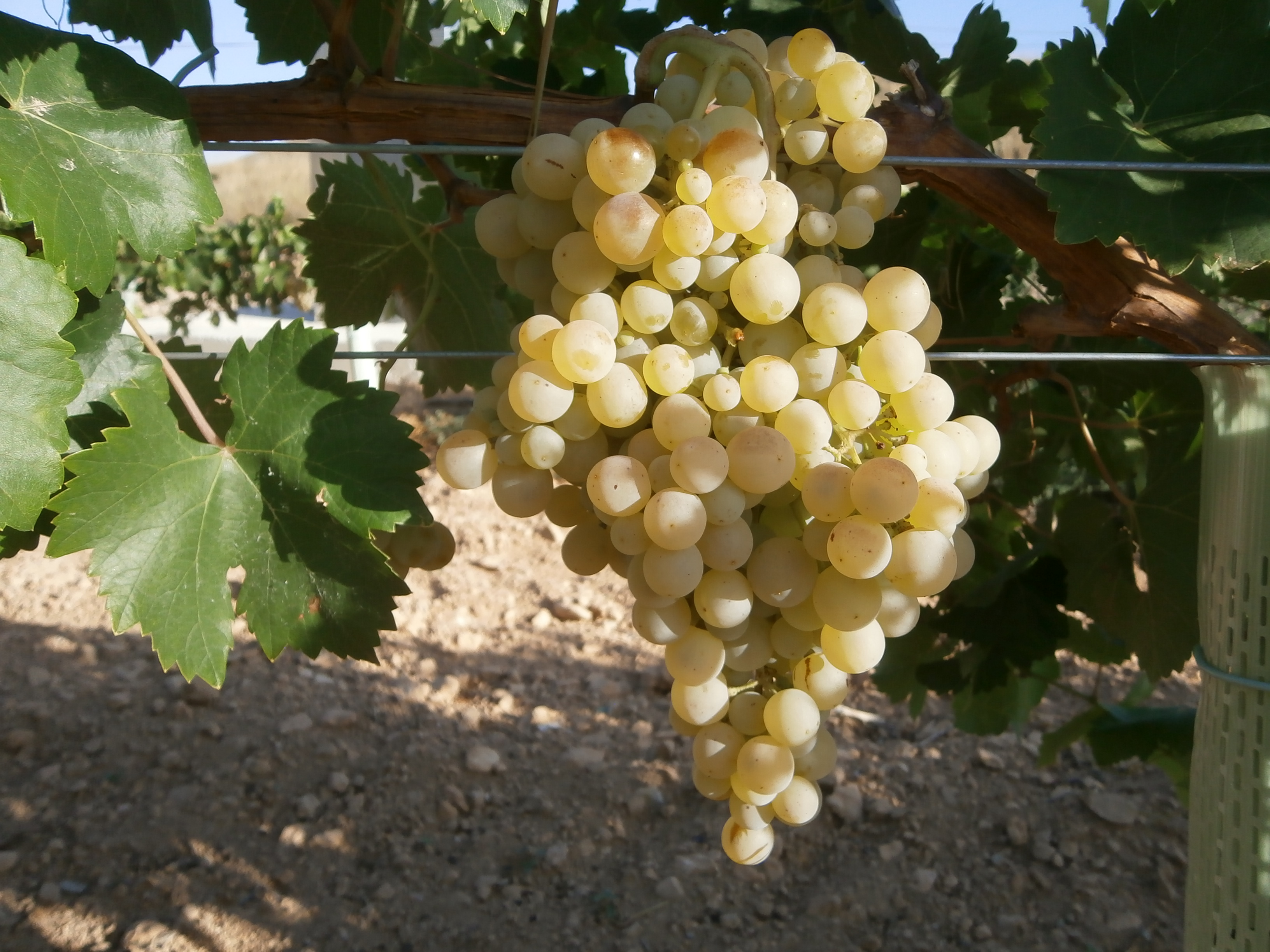 """Сорт белого винограда """"Айрен"""""""