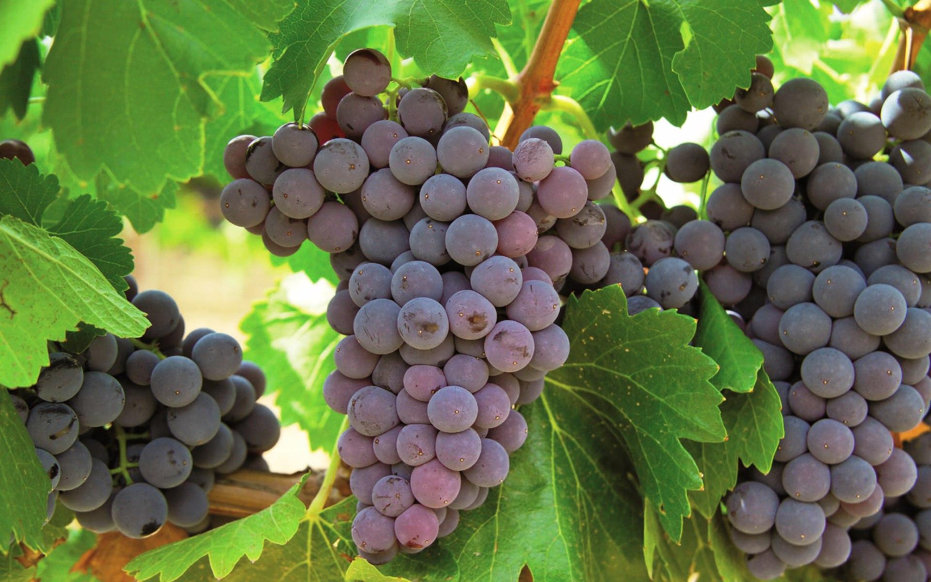 Испанский виноград